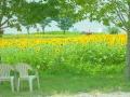 ひまわり畑とイス