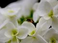 白いアジサイと蜂